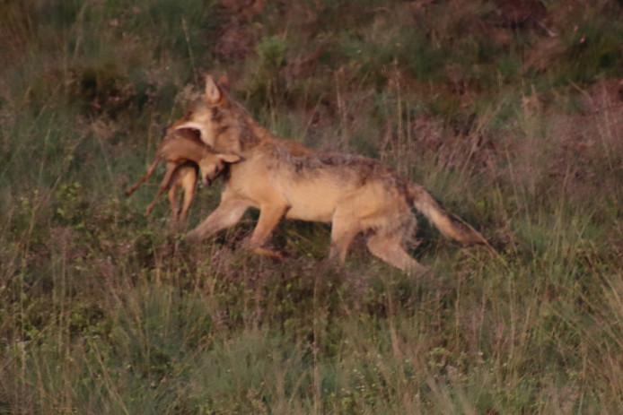 Een wolf op de Veluwe pakt een prooi: een jonge ree.