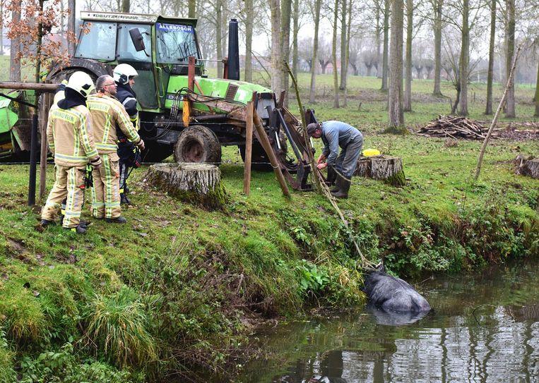 De landbouwer maakt het touw vast aan zijn tractor want alleen geraakt de koe niet uit het water