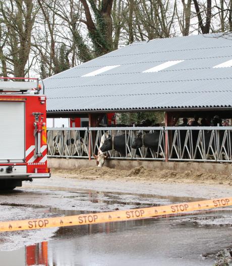 Brandweer redt drie koeien uit mestput in Ens