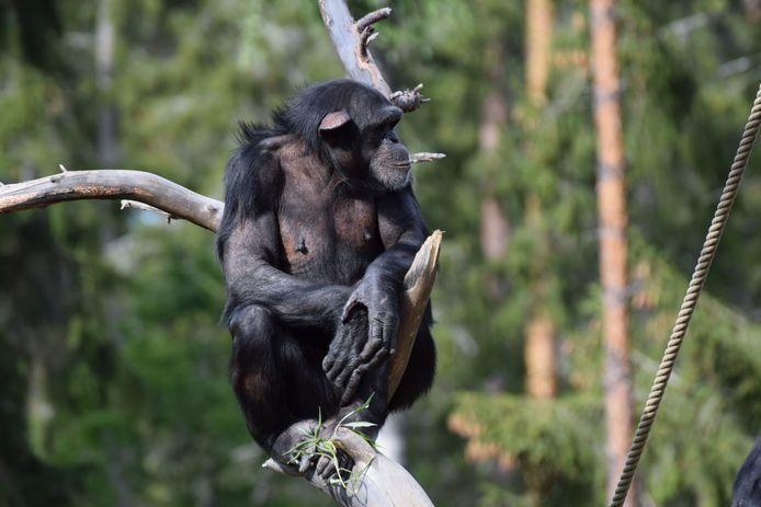 Marit, een van de Zweedse chimpansees in de ZOO.