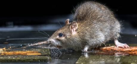 Wordt, na de processierups, de rat de volgende plaag in Brabant?