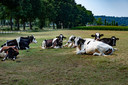 Koeien liggen in halfschaduw/zon in Ooijpolder.