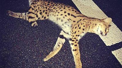 Peperdure en zeldzame kat aangereden op snelweg