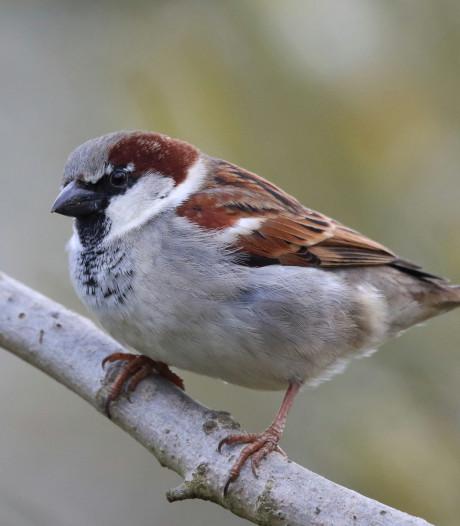 Huismus laat zich in regio het vaakst zien tijdens Tuinvogeltelling; koolmees goede tweede