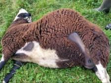 'Grote hond' bijt vier drachtige schapen dood in weiland