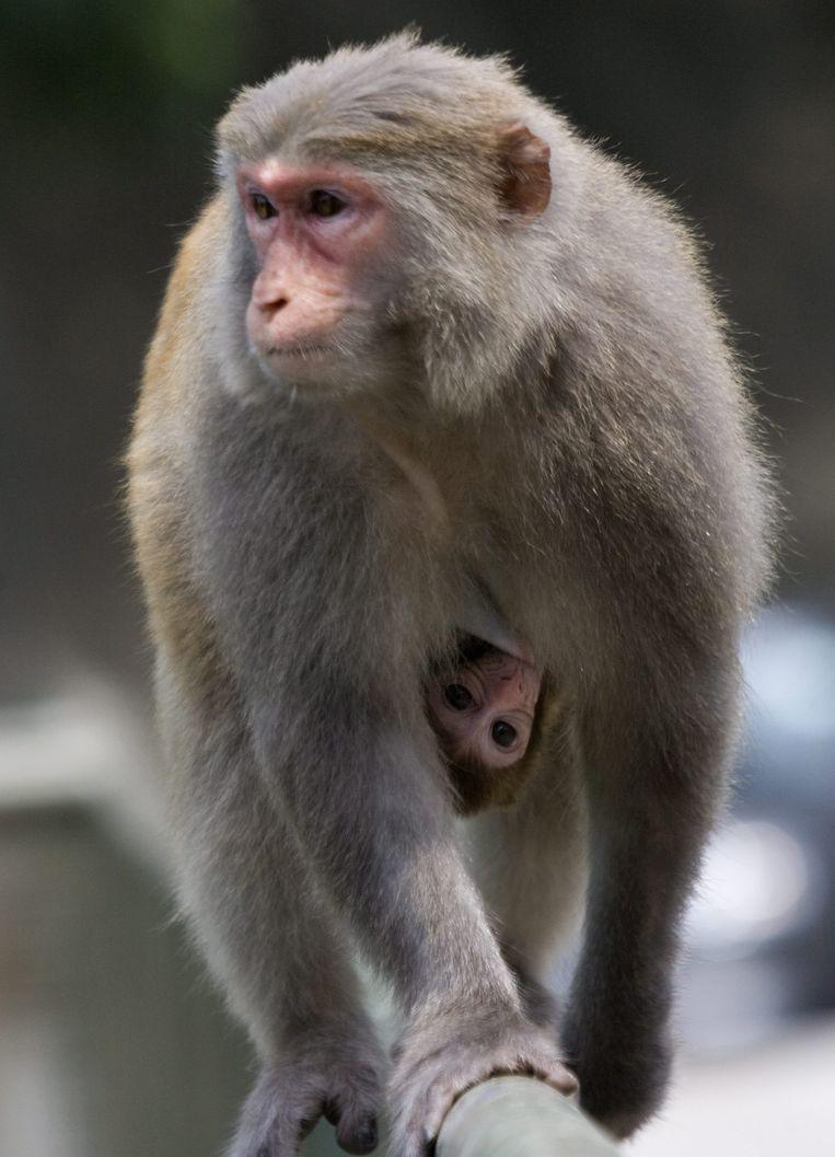Een makaak en haar jong in het Kam Shan-park in het Chinese Hongkong. Beeld ANP