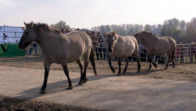 Konik-paarden op de Ooijdijk bij Nijmegen. Fotograaf: Koen Suyk Beeld anp
