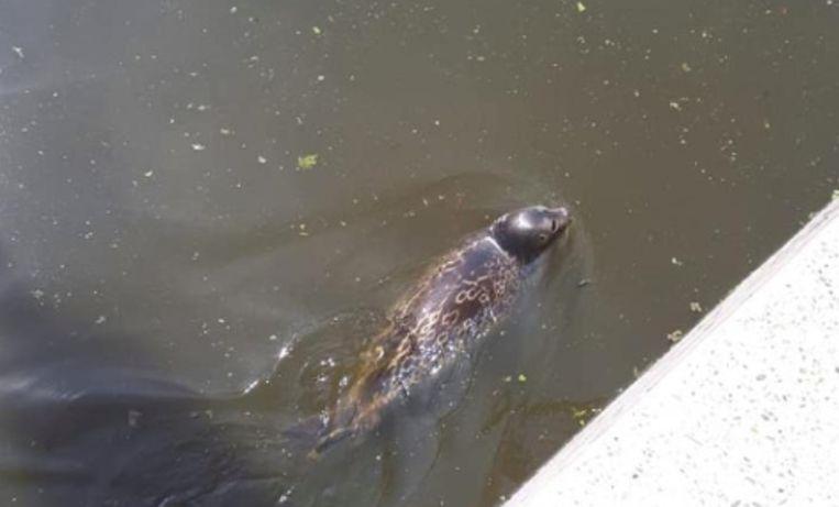 Zeehond gespot in de Amstel