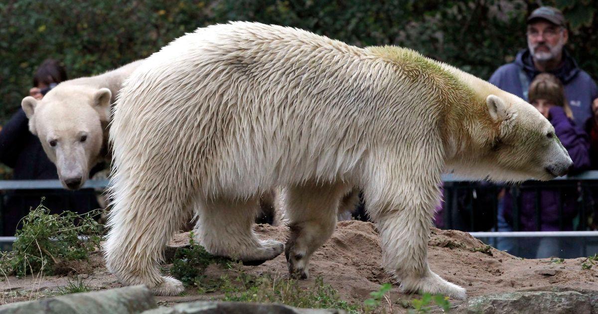 Geen seks meer voor ijsberen in Berlijnse zoo | Dieren