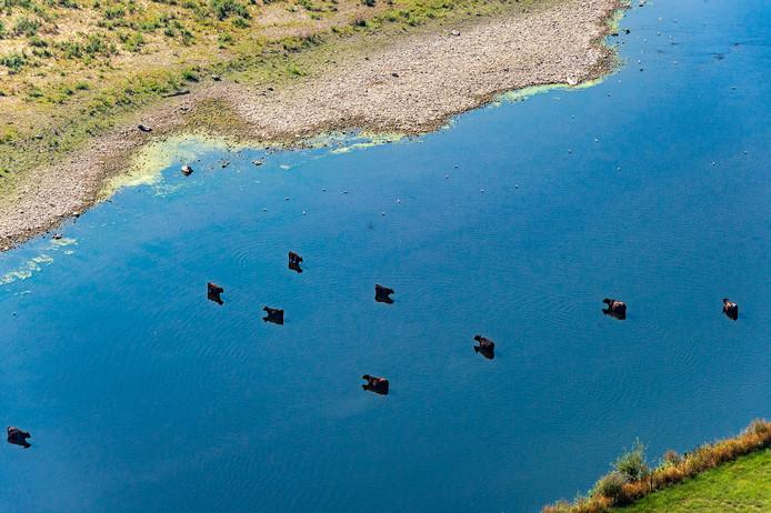 Koeien zijn pootje aan het baden bij de Grensmaas. Zij drinken alleen uit water waar geen blauwalg is te zien.
