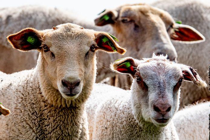 Een kudde schapen. Foto ter illustratie