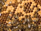 Six ruchers de la région de Charleroi sont atteints par la Loque européenne