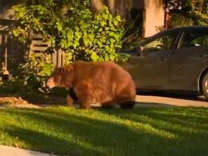 Un ours se balade tranquillement dans la rue en Californie