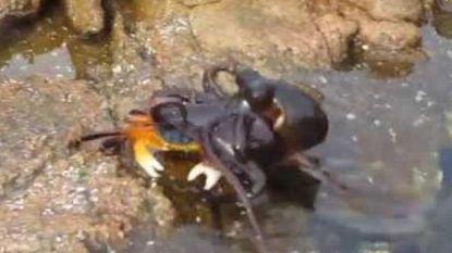 Ongezien! Octopus vangt krab en peuzelt hem op