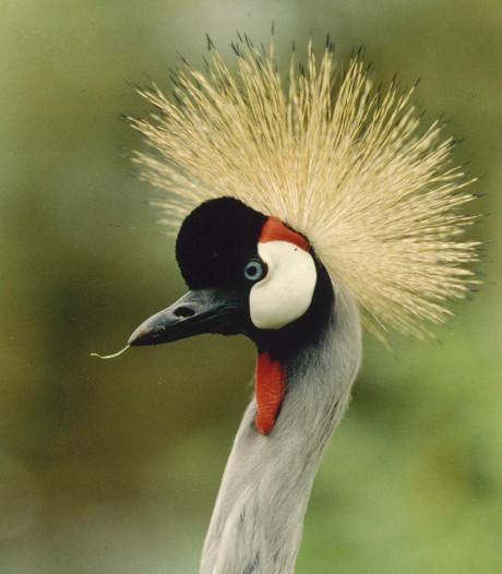 Wel kraanvogels gespot in natuurgebied Engbertsdijksvenen maar geen kuikens