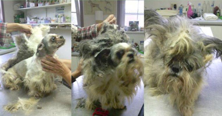 De pels van de Shih Tzu Tashi-Mux was zodanig aangetast, dat er niets anders op zat om zijn vacht weg te scheren. Ook zijn oogje was aangetast door het vuil.