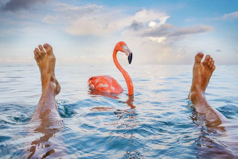 Flamingo Bob is wereldberoemd op Curaçao