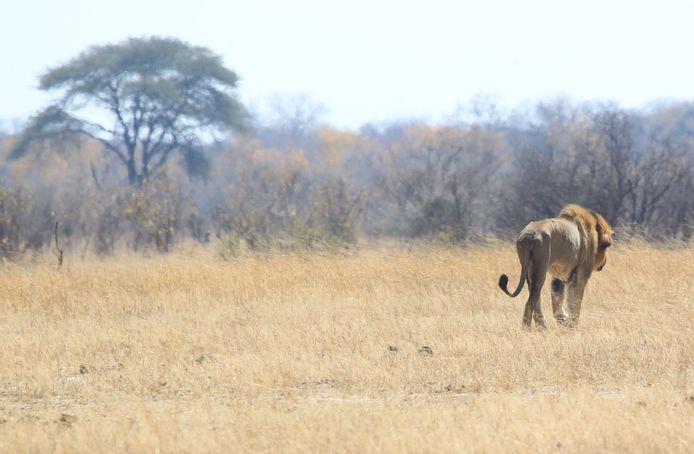 Een leeuw genaamd Tommy in Hwange National Park