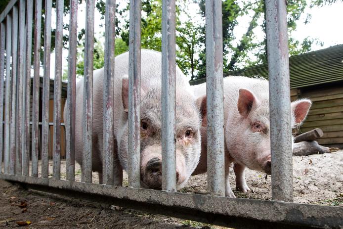 Bruce en Bella kunnen niet op het Vogeleiland blijven, maar tot op heden is het niet gelukt een nieuw onderkomen voor de twee varkens te vinden.