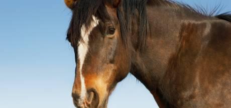 Dierenbeul slaat toe in Amersfoort: geslachtsdeel van paard ernstig verwond