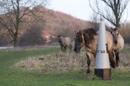 De paarden, die nu op Hollandse bodem lopen, kunnen straks ook op het schiereilandje grazen.