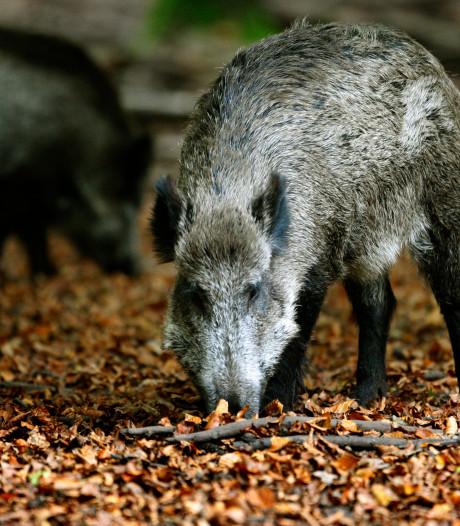 Wilde zwijnen die doordrongen tot de Achterhoek doodgeschoten