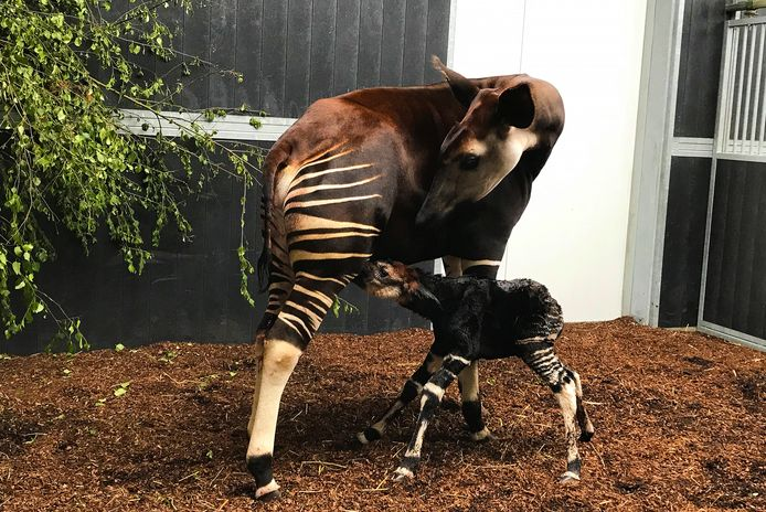 Okapi Guus