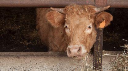 Veehouder gewond na aanval door stier in Rumbeke