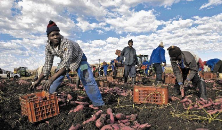 Het oogsten van zoete aardappels in Brits, nabij Pretoria. (FOTO FRANCOIS XAVIER MARIT, AFP) Beeld
