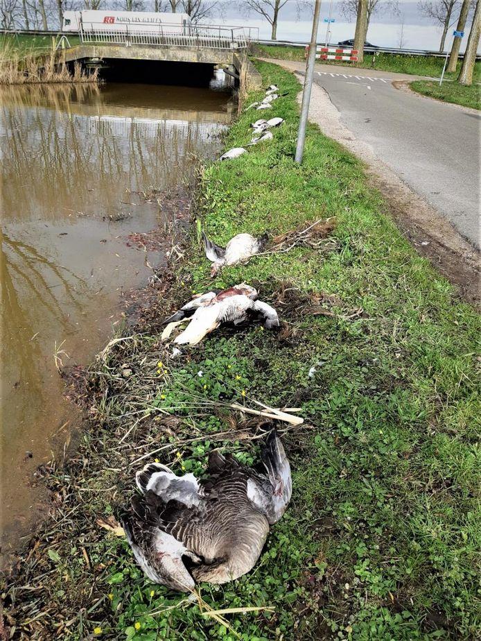 Gedumpte ganzen in Nieuwerkerk aan den IJssel