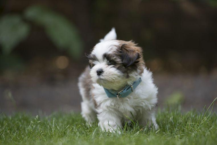 De politie vond twee overleden puppy's van het ras Boomer bij de Helmondse eigenaar.