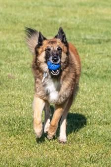 Hoofdrol voor Roxy bij opening nieuw pand Zwolse hondenclub