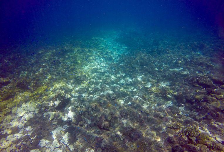 Koraaletende doornenkronen op Swain Reef, een onderdeel van het Great Barrier Reef.