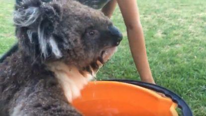 Dorstige koala bedelt om water in extreme Australische hitte