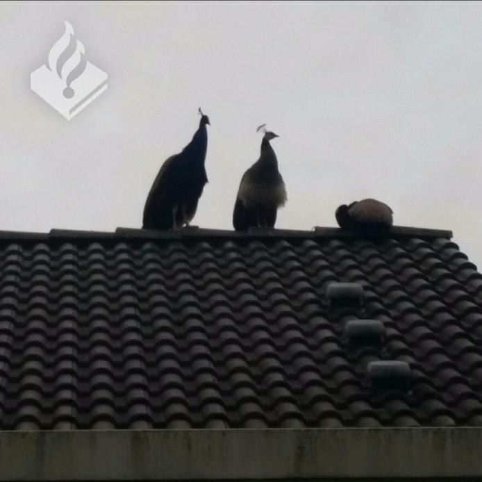 De pauwen lijken zich goed te vermaken op het dak van een huis in de Sallandlaan