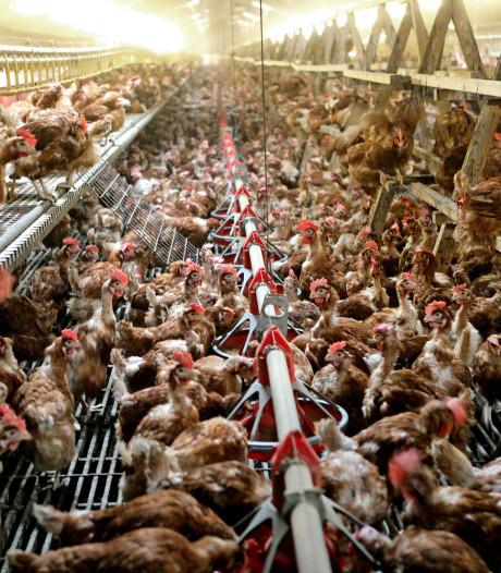 Werkstraf geëist tegen pluimveehouder die te veel kippen hield in Reusel-De Mierden