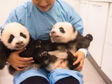 Choisissez les noms des bébés pandas de Pairi Daiza