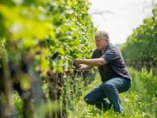 Regen belooft niet veel goeds voor Sallandse en Achterhoekse wijn