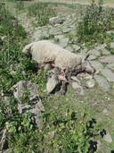 Het schaap werd waarschijnlijk door een wolf gebeten.