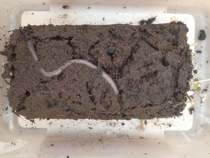 Een worm in het nagebootste Marszand.