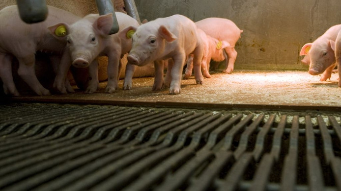 Biggetjes bij hun moeder in de stal van een varkenshouderij. Foto: ANP