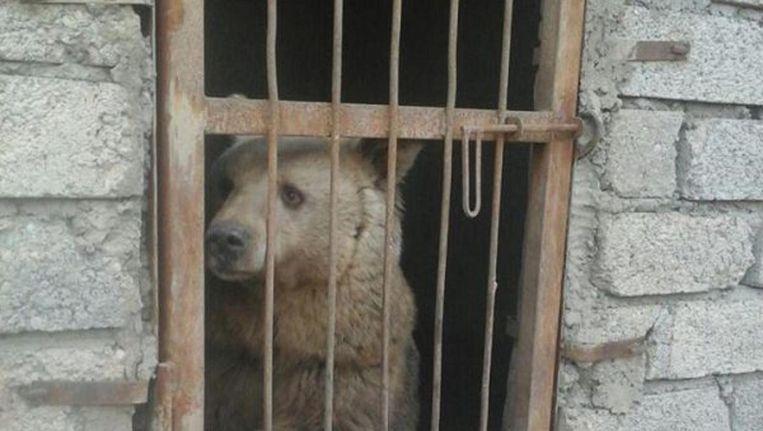 De beer, een van de twee dierentuindieren die het offensief in Mosul hebben overleefd. Beeld Mosul Eye