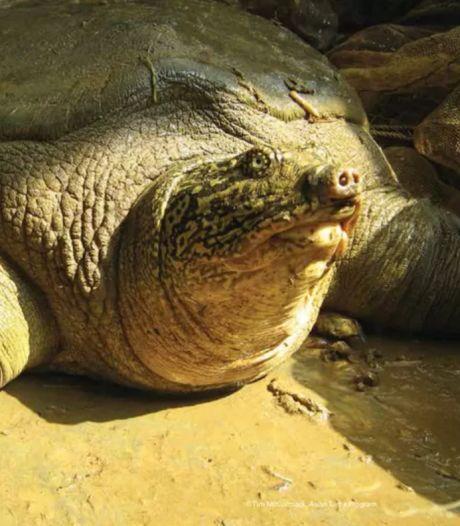 Lueur d'espoir pour une tortue menacée d'extinction: une femelle découverte au Vietnam