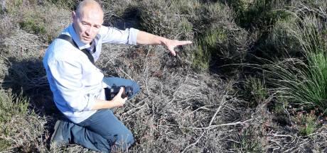 Wilde zwijnen vreten Veluwse gifslangen: de adder heeft het zwaar op de Veluwe