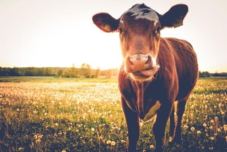 Wij zien geen graten in het eten van rund, terwijl in India de koe een heilig dier is