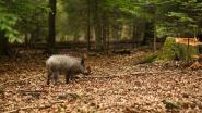Jachtpartij in Franse Ardennen loopt compleet uit de hand: 158 everzwijnen gedood