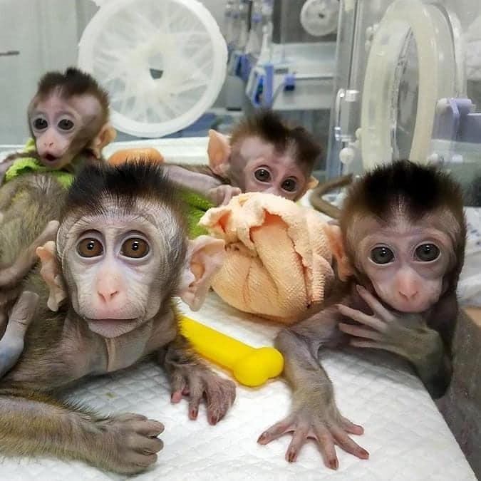 Gekloonde apen in een couveuse.