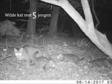 Wilde kittens gespot in het Vijlenerbos
