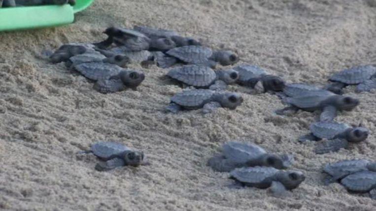 De vrijwilligers hebben een recordaantal zeeschildpadjes vrijgelaten.