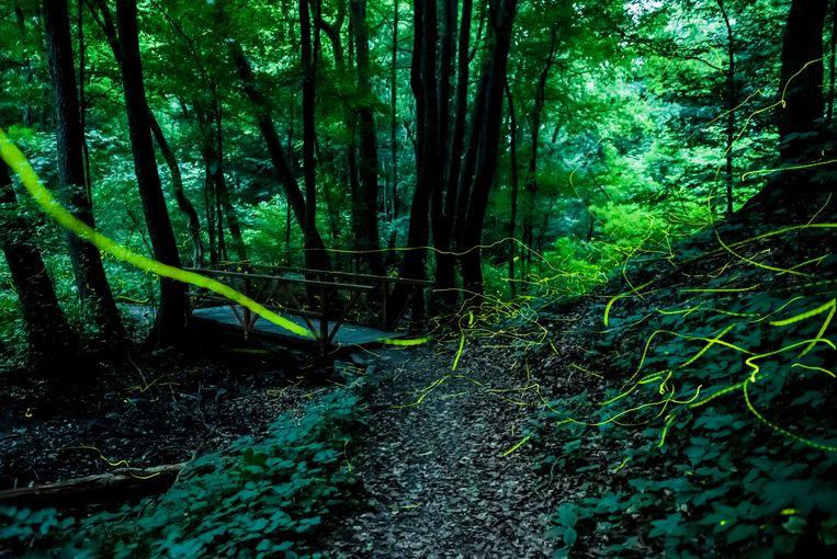 Met een lange belichtingstijd maakt deze foto het spoor van vuurvliegjes zichtbaar in een bos bij Satorosbanya, in Slowakije.  Beeld EPA